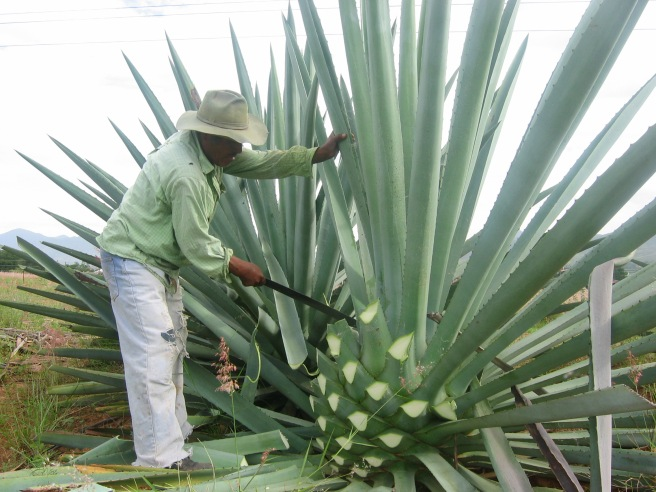 Agave being harvested for Mezcal TASTE Cocktails